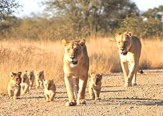 2 female lions and 6 cubs walking