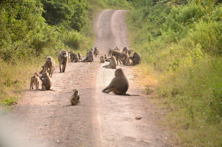 baboons in road arusha national park tanzania