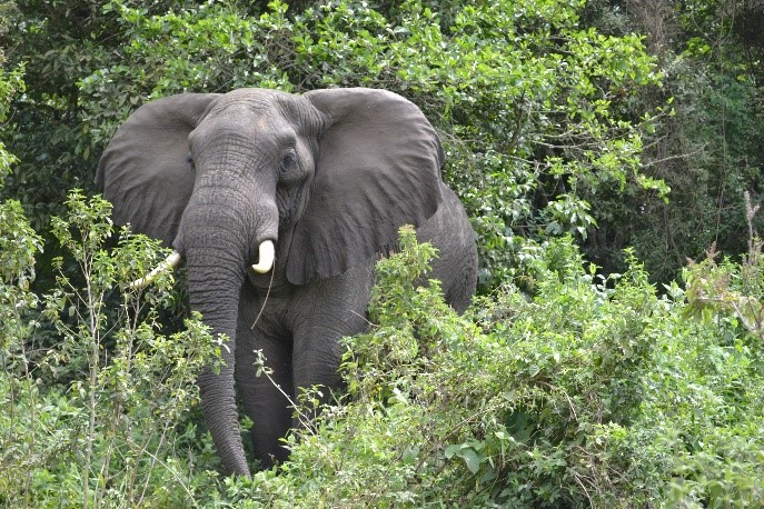 elephant coming out of jungle Arusha National Park Tanzania
