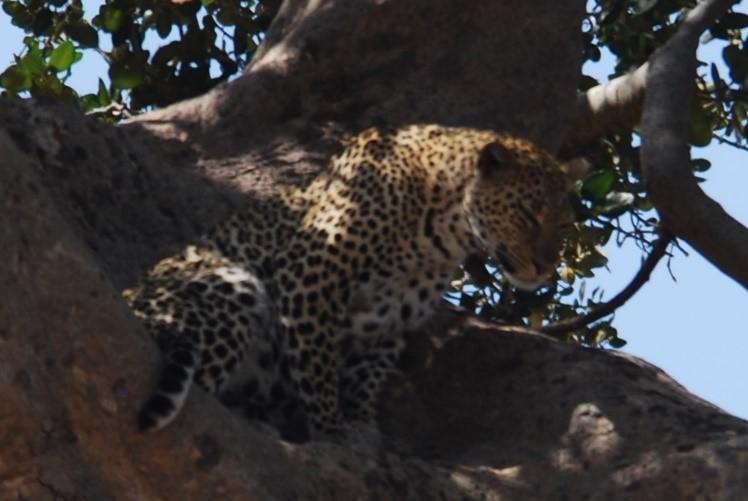 leopard in tree serengeti tanzania