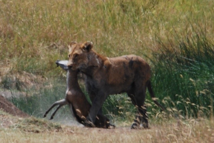 lioness carrying kill serengeti tanzania