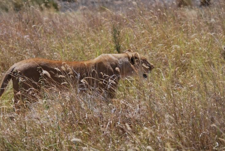 lioness stalking prey serengeti tanzania