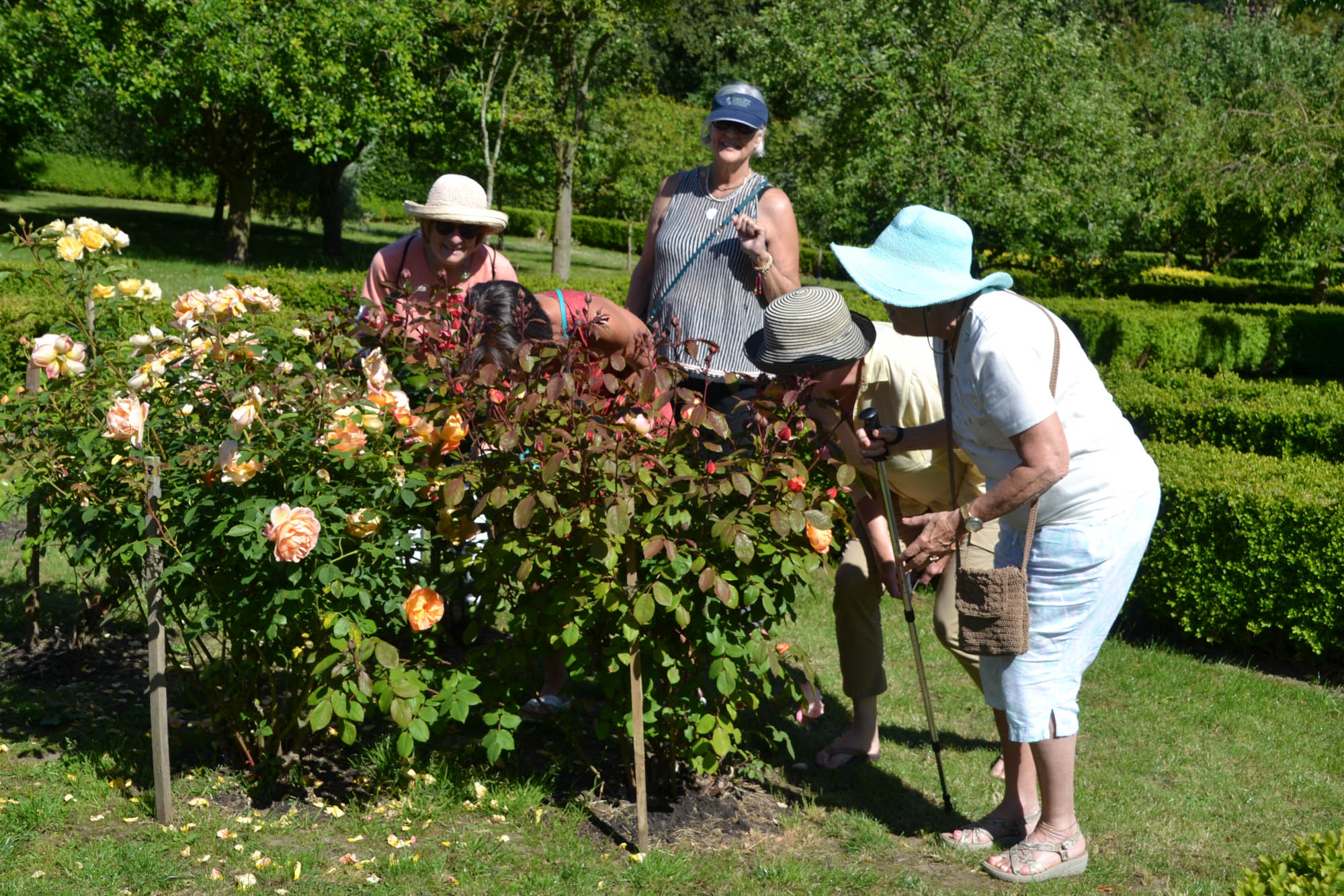 Ladies grouped around  a rose bush enjoying the lovely scent