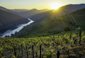 Sunset on vineyards with Douro river in background