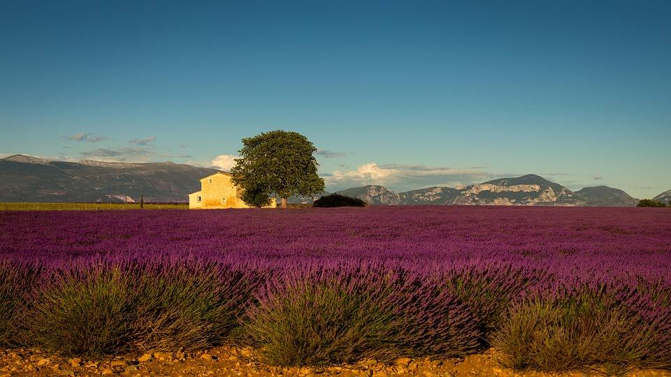 PUrple lavender fields with house in background
