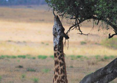 Giraffe reaching for a leaf on a tall branch