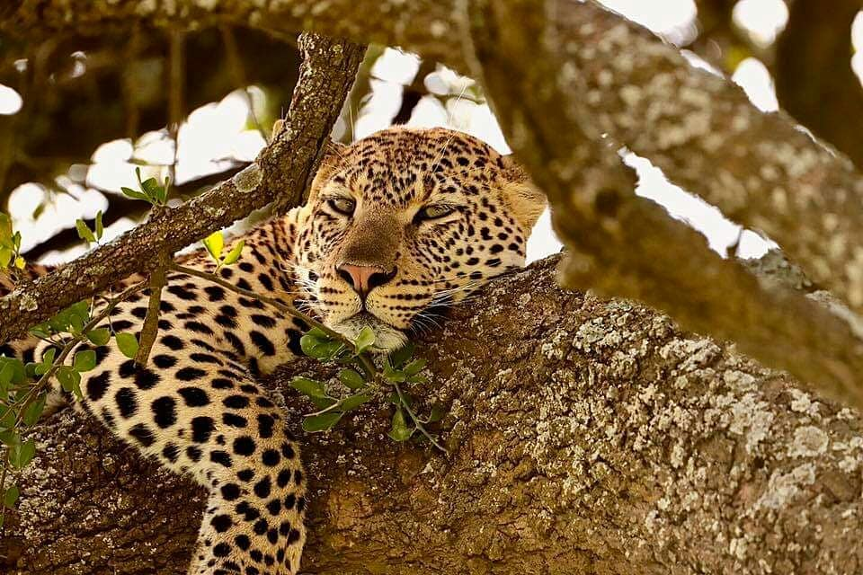 Leopard laying in tree