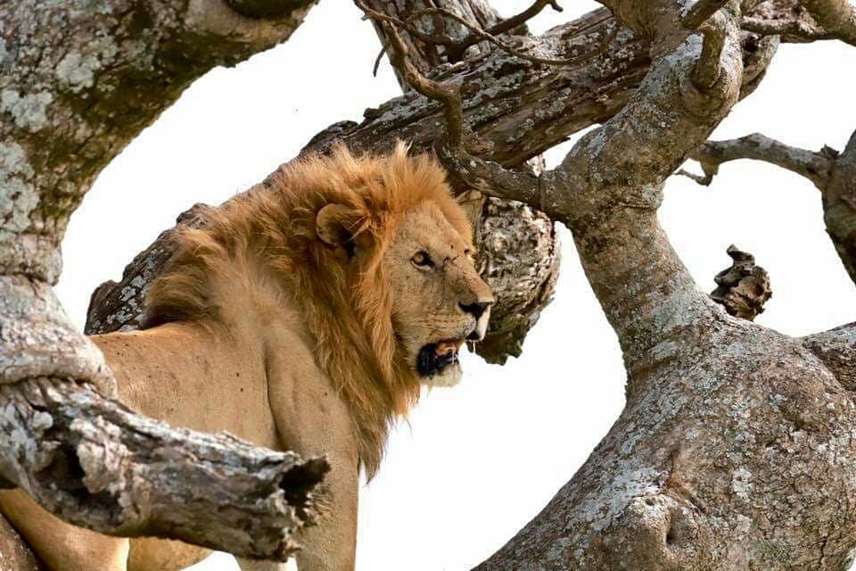 Lion sitting in tree Manyara National Park Tanzania