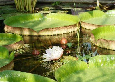 Giant Waterlily Amazon
